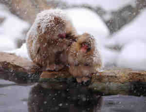 8张日本雪猴温泉泡澡摄影
