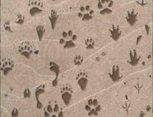 32种动物脚印笔刷