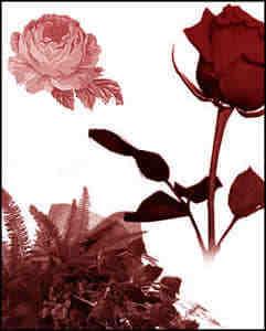 鲜红的玫瑰花笔刷