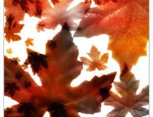 梧桐叶、树叶、秋天落叶photoshop笔刷素材