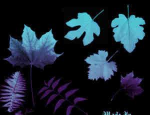 梧桐雨、枫叶等树叶Photoshop笔刷素材