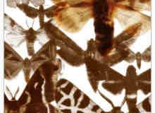 飞蛾昆虫PS笔刷素材