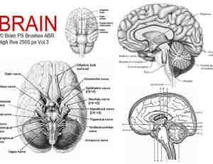20种人体大脑、大脑解剖图PS医学笔刷下载