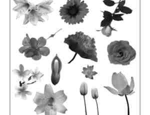 大型真实的鲜花花朵笔刷