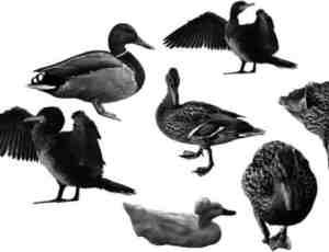 禽类鸭子笔刷