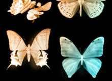 4种漂亮的真实蝴蝶PS笔刷素材下载