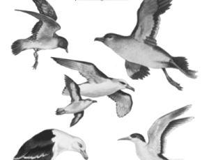 海鸟、海鸥鸟类photoshop笔刷素材下载