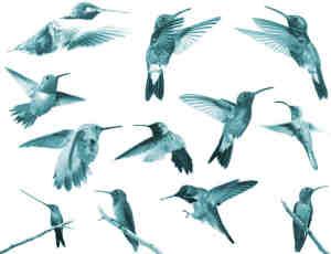 各种飞行姿势的蜂鸟photoshop笔刷素材