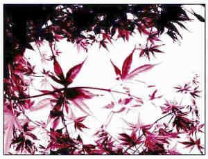 简单的枫叶、树叶场景PS笔刷素材