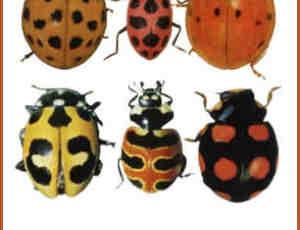 11种甲虫、瓢虫图片素材ps笔刷