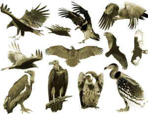 秃鹫、老鹰素材Photoshop笔刷下载