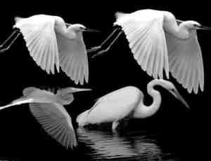 真实的白鹭Photoshop鸟类笔刷