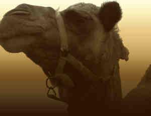 骆驼PS笔刷