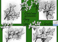 漂亮的手绘圣诞节枝叶、圣诞节饰品装饰PS笔刷下载