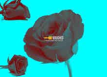 真实的玫瑰花鲜花Photoshop花朵笔刷