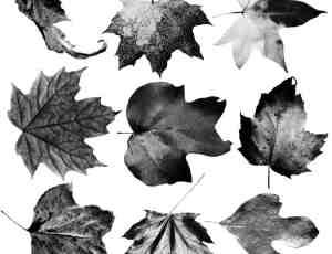 真实的枯黄叶子、枫叶、梧桐叶Photoshop树叶笔刷素材