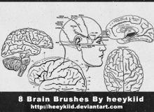 大脑解剖图、脑结构图PS笔刷素材下载