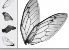 昆虫翅膀图案PS笔刷下载