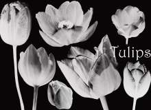 漂亮的郁金香花朵图像PS笔刷素材