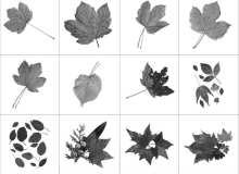 树叶、枫叶、梧桐叶子素材PS笔刷免费下载