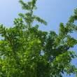 银杏树背景、银杏树树荫PS素材(6240X4160像素,免费商用)