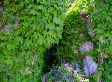 爬山虎纹理植物背景 – 高清图片免费正版