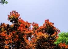 枫叶、红色枫叶背景图片 – 免费商用照片下载