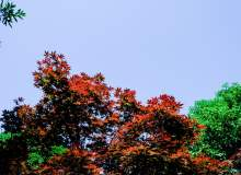 红枫叶天空图片背景 –  免费下载商用