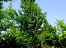 绿色银杏树图像 – 免费商用图片