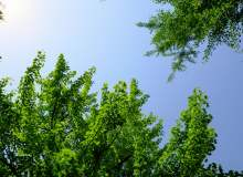 银杏树与天空背景 – 免费商用图片