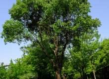 大樟树高清图片下载 – 免费商用