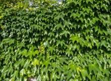 绿色的爬山虎图片下载