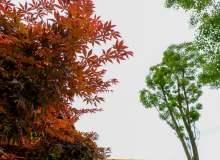 红枫叶照片下载