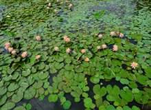 莲花湖面高清照片下载