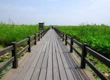 湿地芦苇旁木板走廊照片