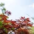 鸡爪槭高清背景