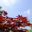 蓝天下鸡爪槭树木背景