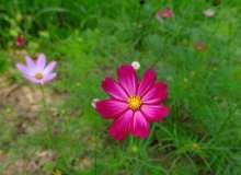 红艳波斯菊鲜花照片
