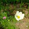 白色波斯菊、白色秋英照片