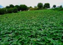 红薯地、番薯叶子高清照片