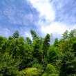 蓝天下的竹林背景照片下载