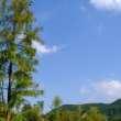 翠绿杉树与蓝天背景4K照片