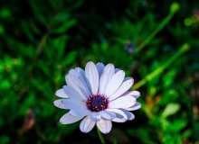 漂亮蓝目菊鲜花超4K图片素材